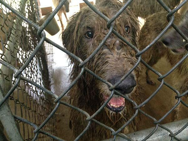 Dog Rescue Galveston County