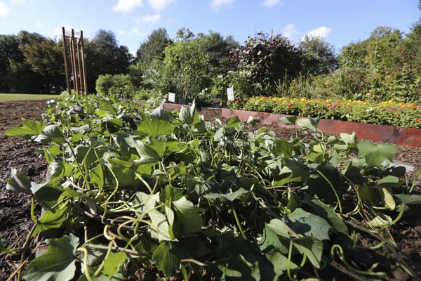 "<div class=""meta image-caption""><div class=""origin-logo origin-image ap""><span>AP</span></div><span class=""caption-text"">Sweet potatoes are grown together with other vegetables at the White House Kitchen Garden (AP Photo/Manuel Balce Ceneta)</span></div>"
