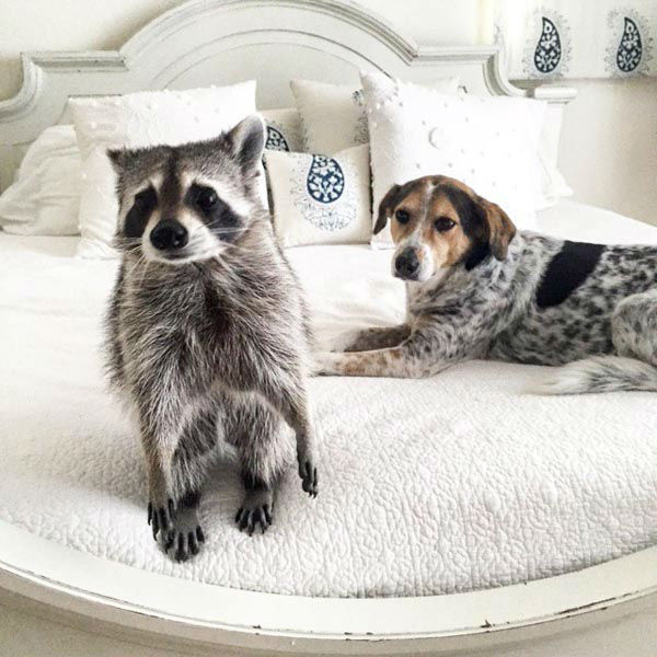 Meet Pumpkin The Raccoon Living The High Life Between Dog And - Pumpkin rescued raccoon