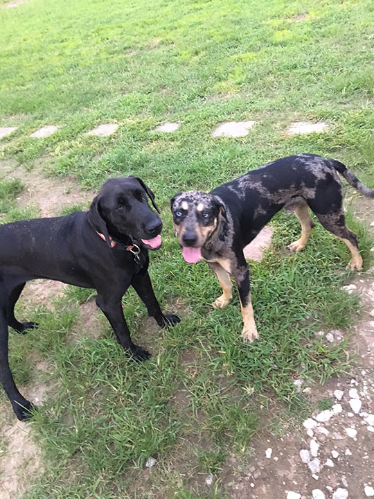 <div class='meta'><div class='origin-logo' data-origin='none'></div><span class='caption-text' data-credit=''>A family was a little surprised when their three-year-old Great Dane, Oakley, and their two-year-old Catahoula Leopard Dog, Trooper, had a litter of 17 puppies.</span></div>