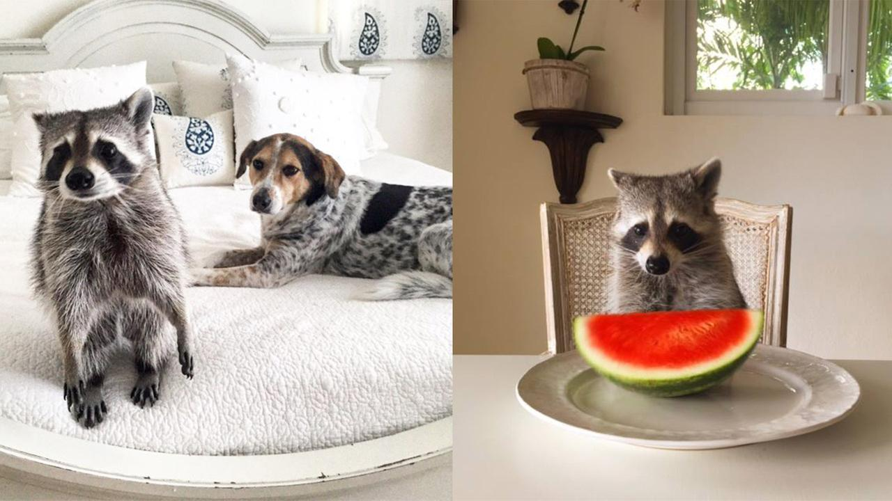 PHOTOS Meet Pumpkin The Raccoon Who Thinks Shes A Dog Abccom - Pumpkin rescued raccoon