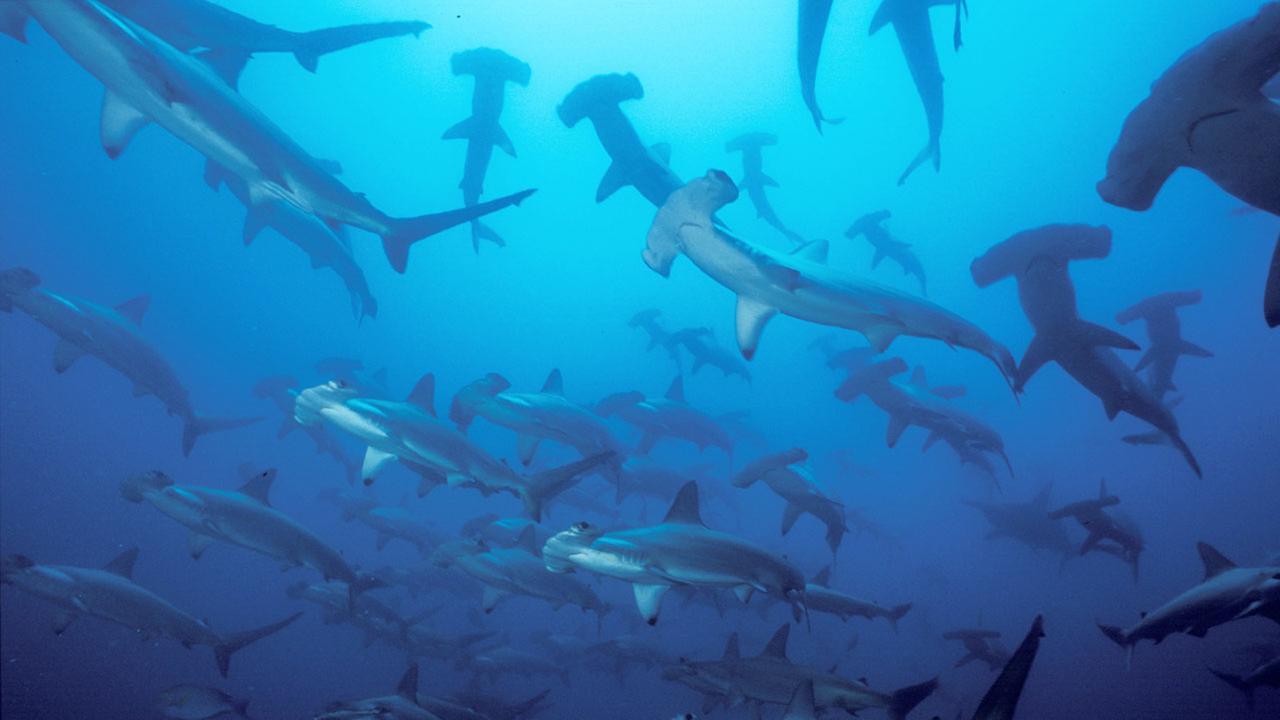 A group of hammerhead sharks swim in the waters surrounding the Pacific islet of Malpelo, a Colombian wildlife sanctuary.