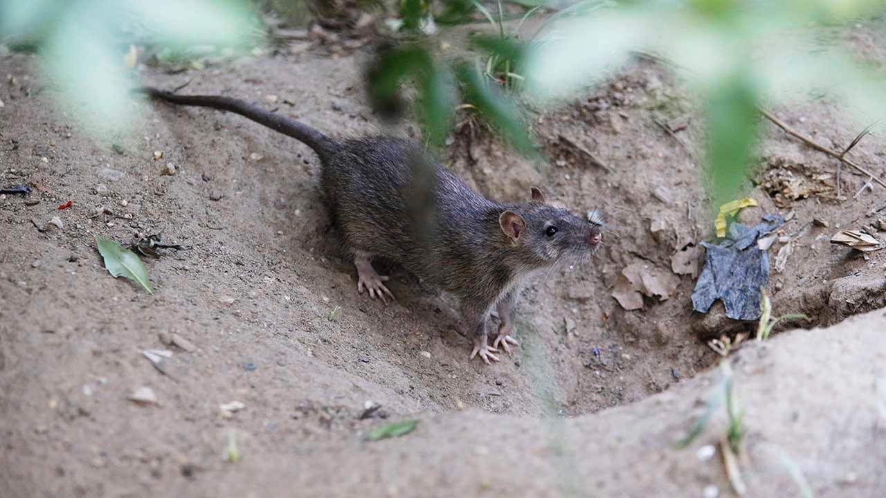 In this Thursday, Sept. 17, 2015, photo, a rat enters its burrow at a park in the Chinatown neighborhood of New York.