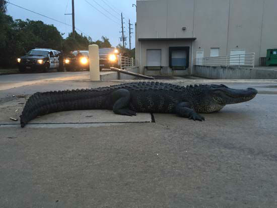 <div class='meta'><div class='origin-logo' data-origin='none'></div><span class='caption-text' data-credit='Christy Krobroth'>A huge alligator was discovered and captured in a parking lot in Sugar Land.</span></div>