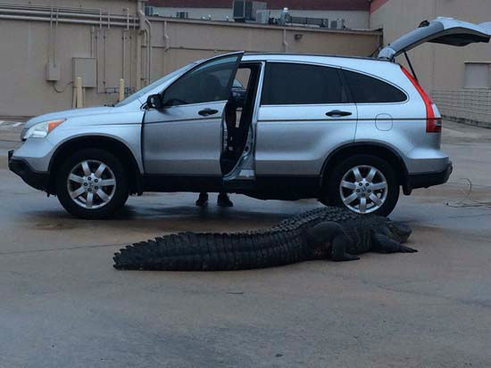 <div class='meta'><div class='origin-logo' data-origin='none'></div><span class='caption-text' data-credit='KTRK Photo/ Christy Krobroth'>An alligator was caught in a Sugar Land parking lot.</span></div>