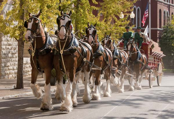 "<div class=""meta image-caption""><div class=""origin-logo origin-image ktrk""><span>KTRK</span></div><span class=""caption-text"">Budweiser Clydesdales marching through the St. Louis Brewery (Anheuser-Busch)</span></div>"
