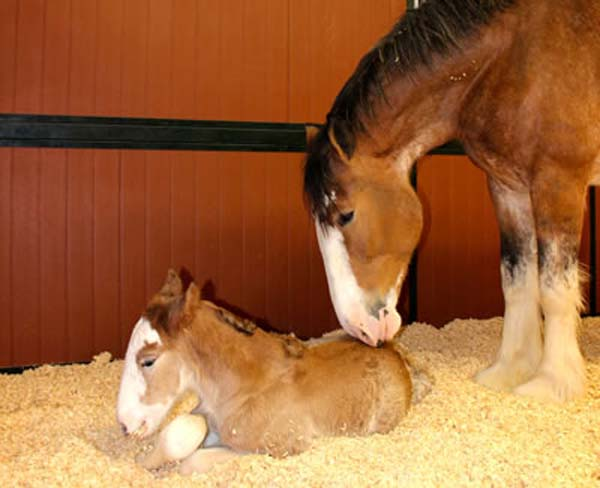<div class='meta'><div class='origin-logo' data-origin='KTRK'></div><span class='caption-text' data-credit='Anheuser-Busch'>Mother and foal at Warm Springs Ranch in Boonville, Missouri</span></div>