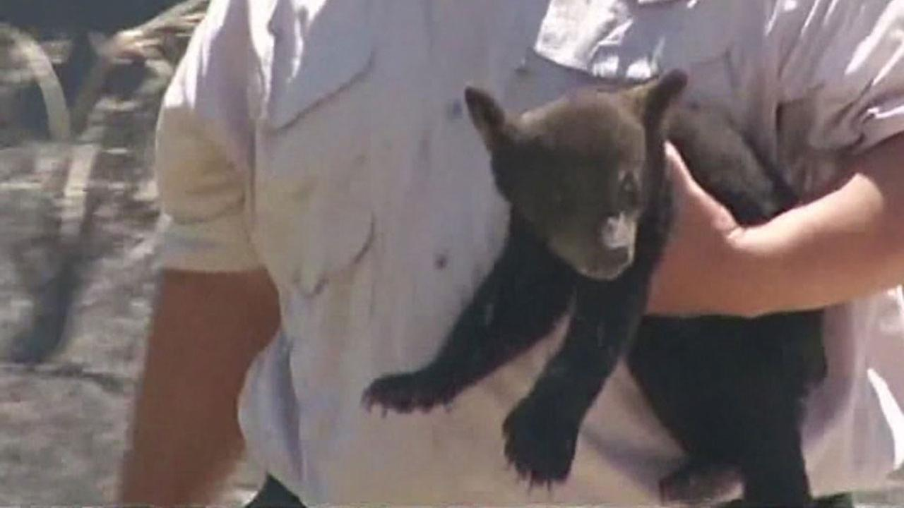 Bear cub rescued