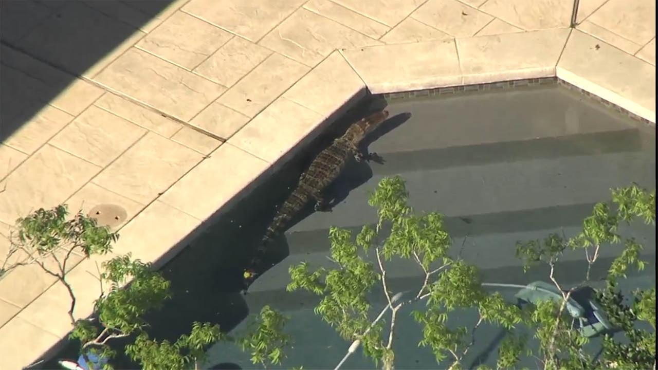 Gator inside swimming pool