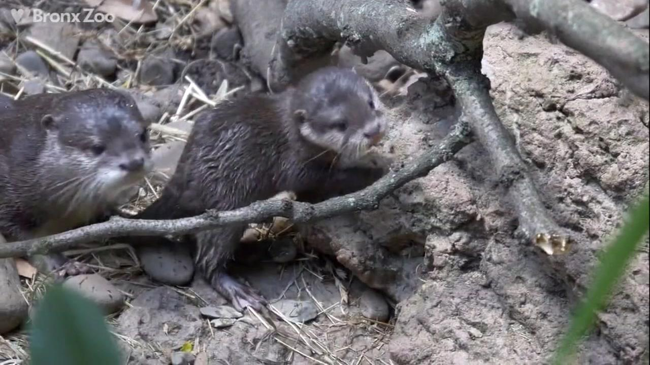 Baby otter at Bronx zoo