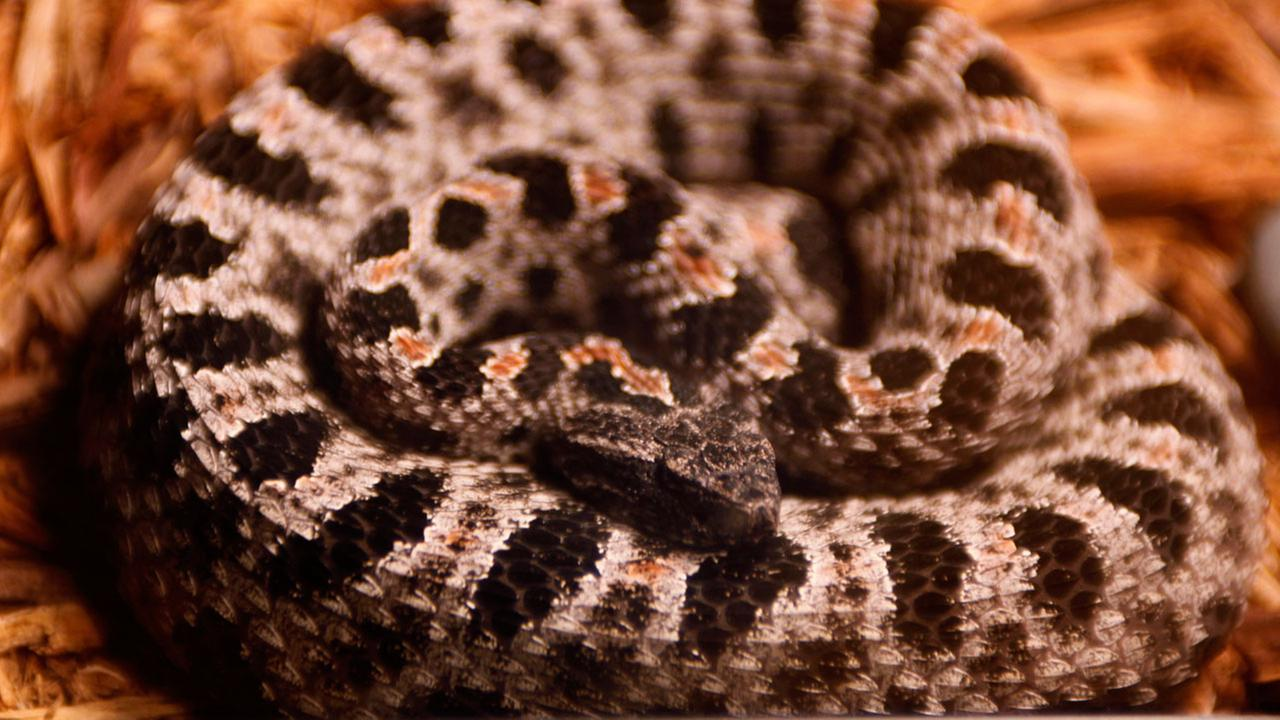 Locals will sound off on plan to create island snake colony