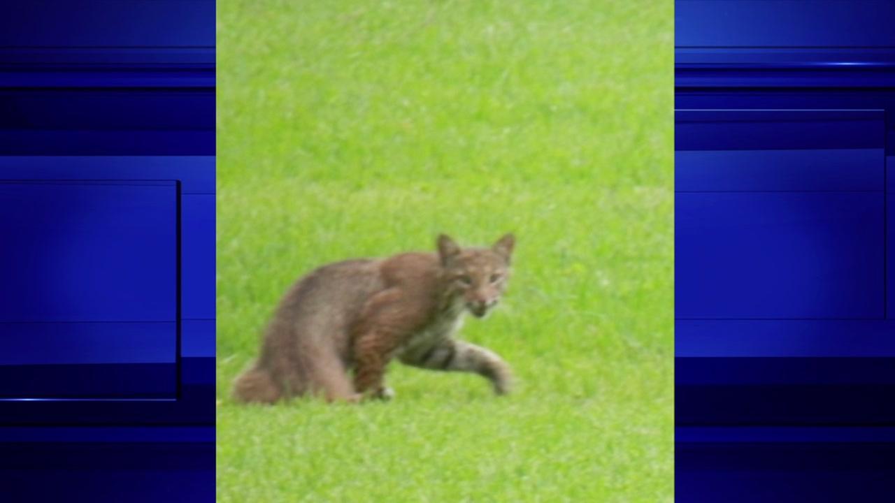 Bobcat in Rosenberg