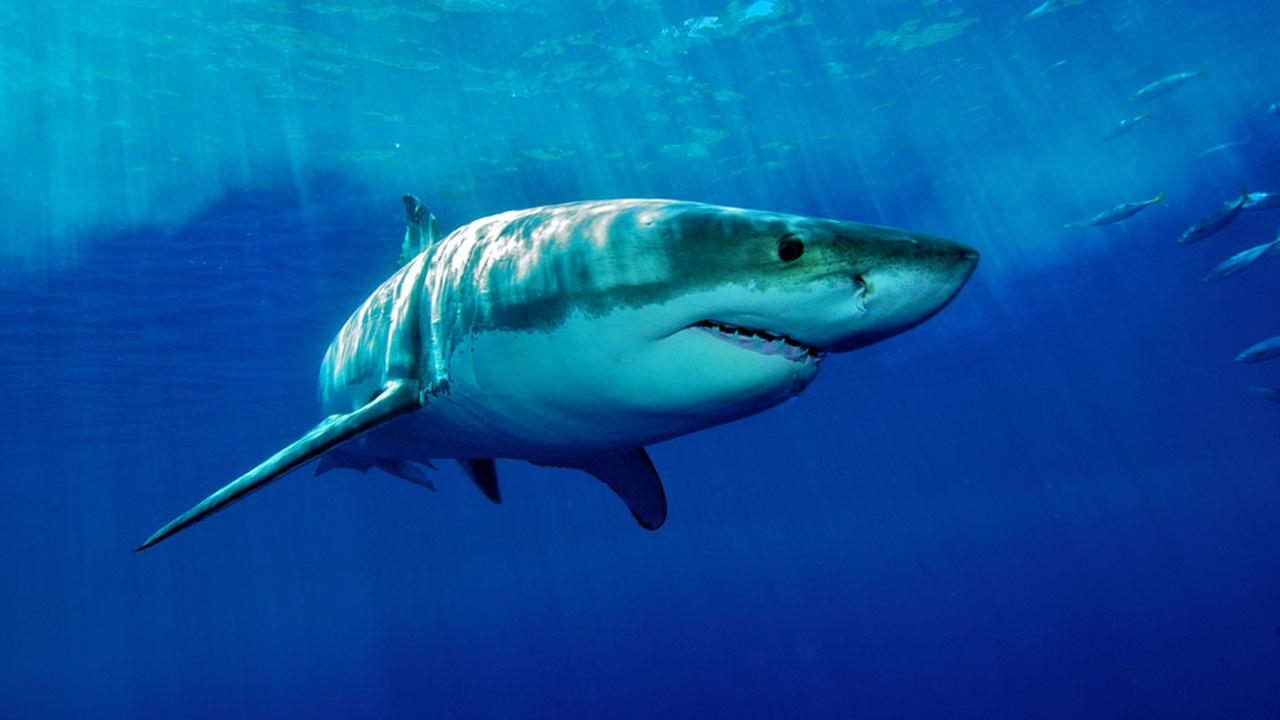 A great white shark navigates the water near Mexicos Guadalupe Island.