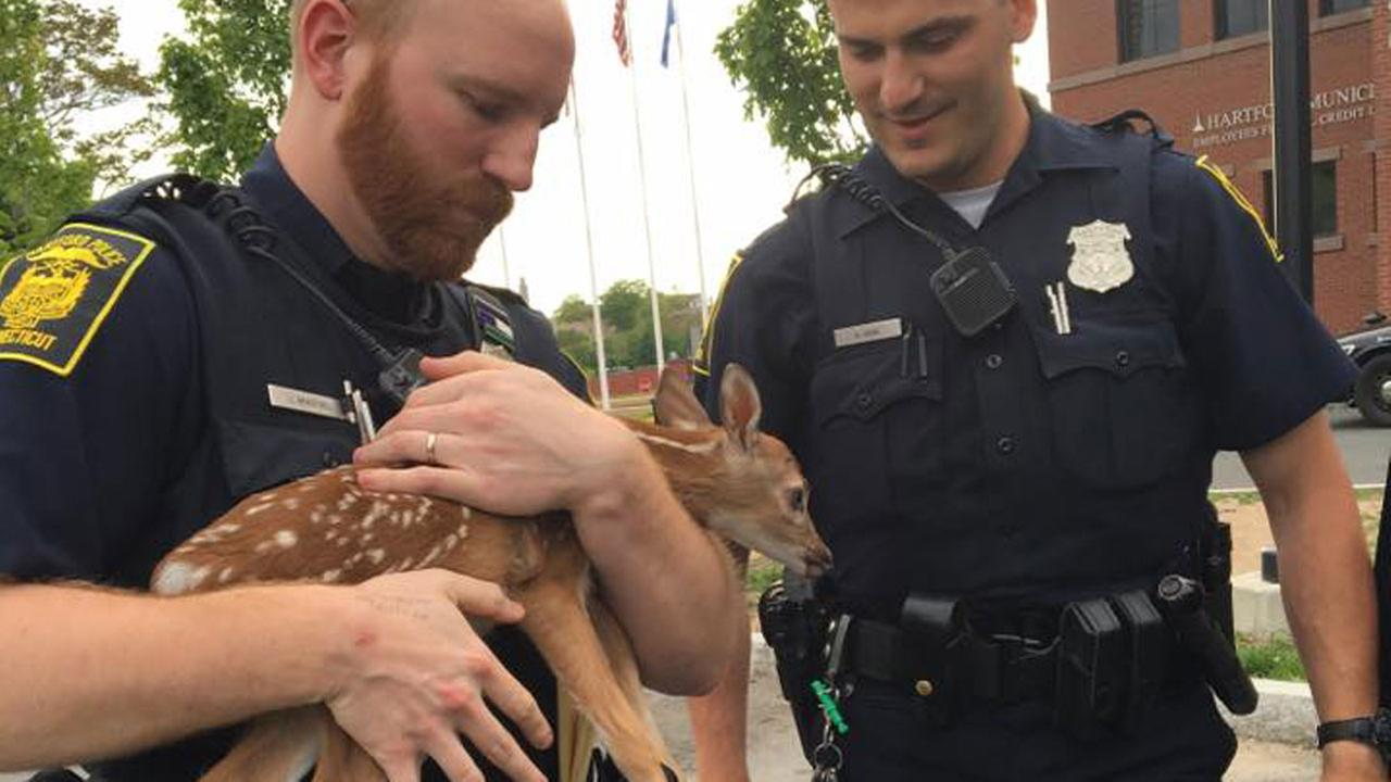 Police officers in Hartford, Connecticut care for an orphaned fawn.