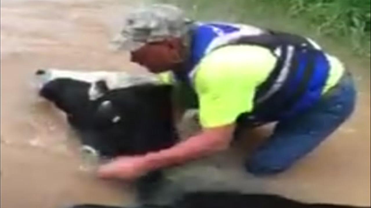 Fulshear cow rescue