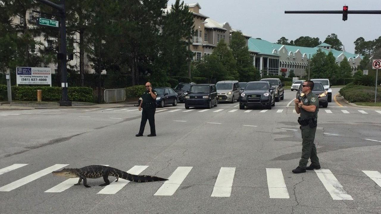 A alligator stopped traffic at a Florida intersection on Monday morning.