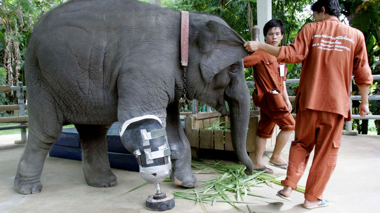 Mosha, a 3-year-old elephant, is helped to walk by its keepers after putting on an artificial leg at the Elephant Hospital in Lampang province, northern Thailand in 2009.