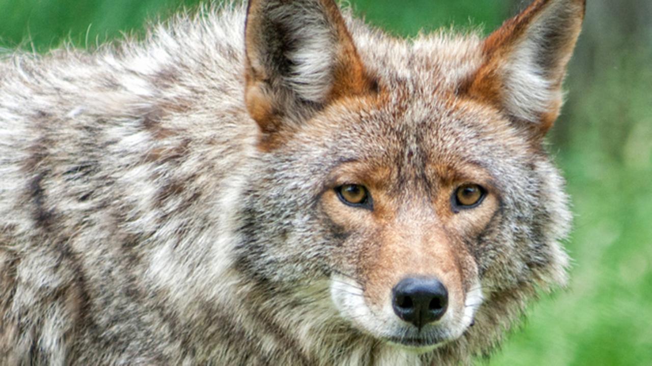 A stock image of a coyote