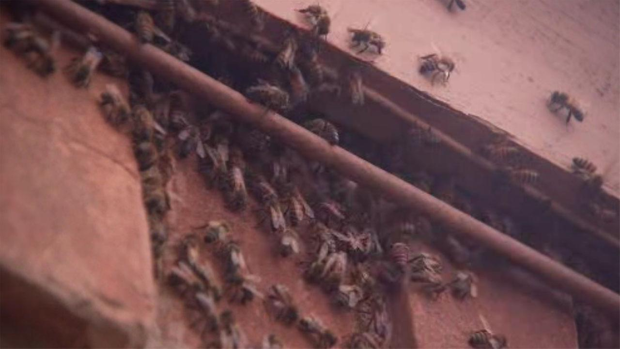 Elderly couple living with bees inside their home