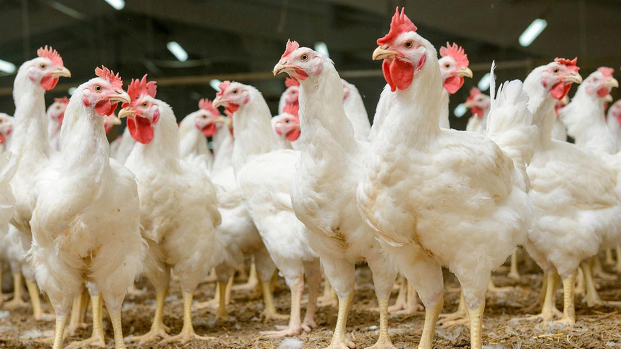 Video showing cruelty at Tyson chicken farms prompts firings