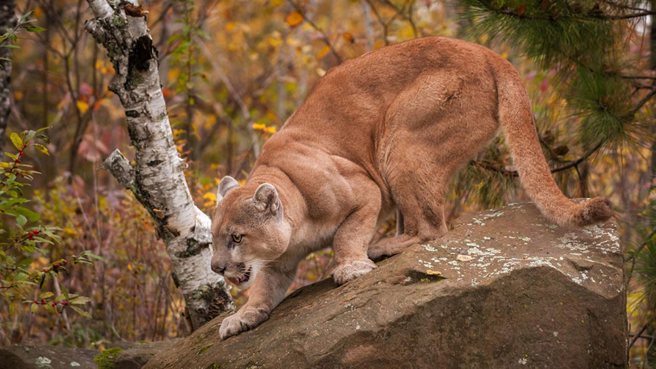 Family camping in Idaho saves girl from mountain lion