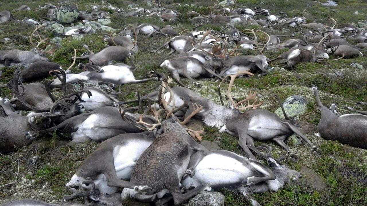 Dead reindeer in Norway