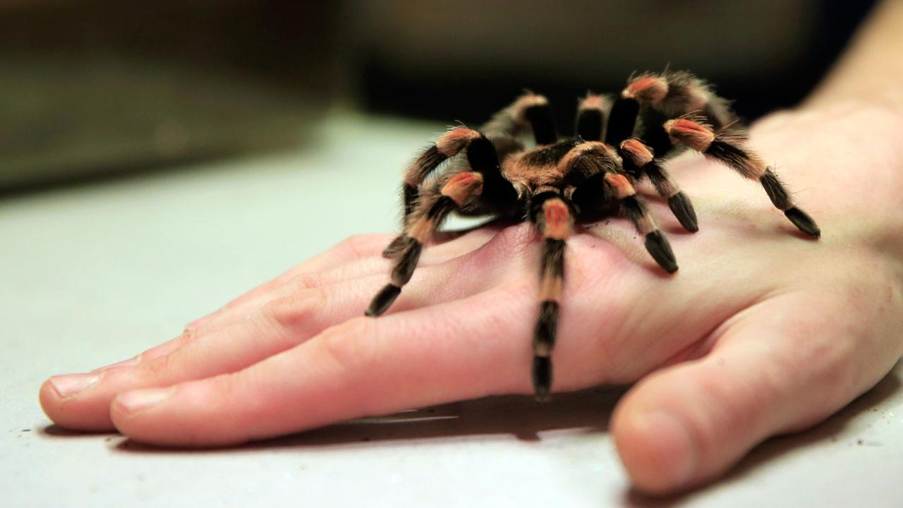 A Mexican redknee tarantula spider stays still on their keepers hand during the annual stocktake press preview at London Zoo in Regents Park in London.