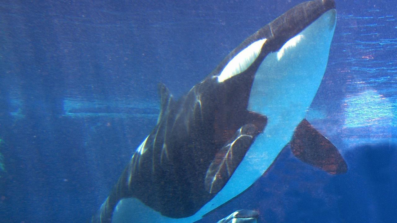 FILE PHOTO - A killer whale swims in its tank at SeaWorld in San Antonio, Texas.