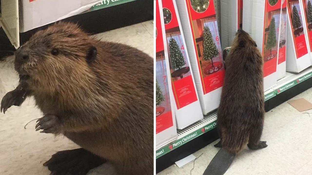 Eager beaver caught Christmas shopping by police