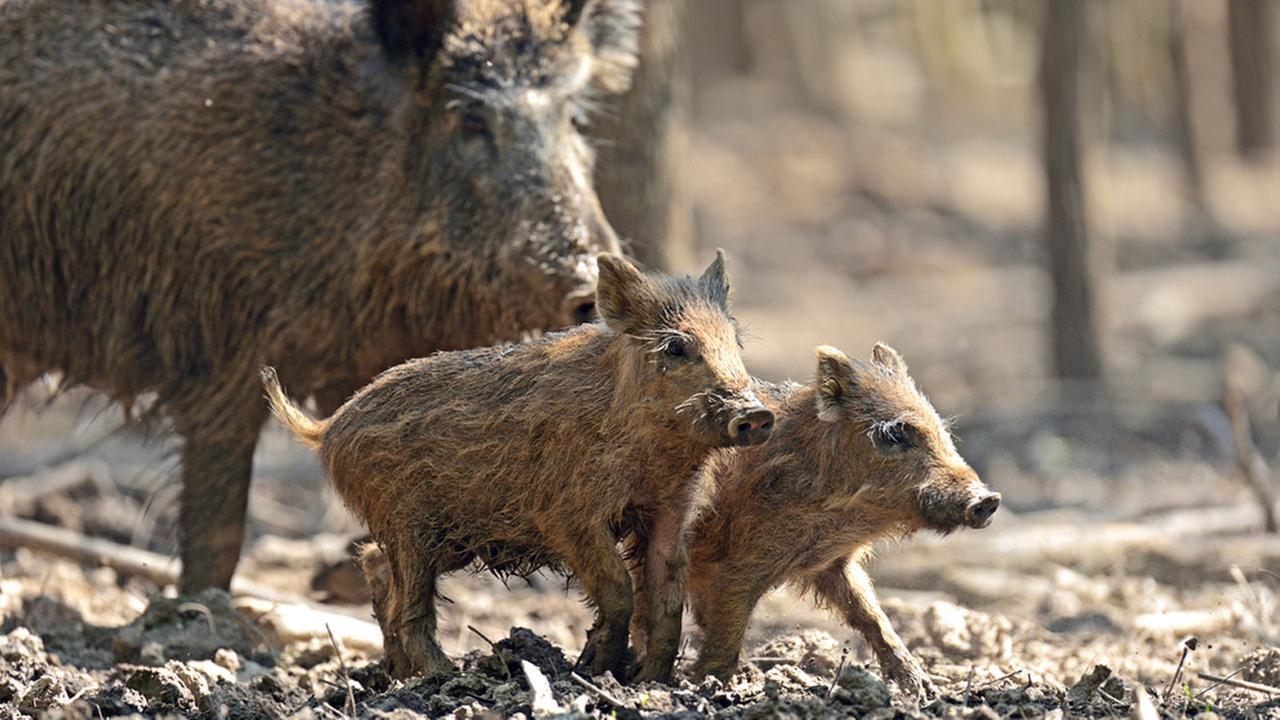 Feral hogs - wild pigs