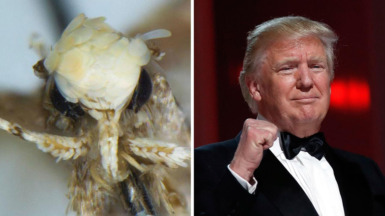 A newly discovered species of moth bears a striking resemblance to the president, biologists say.