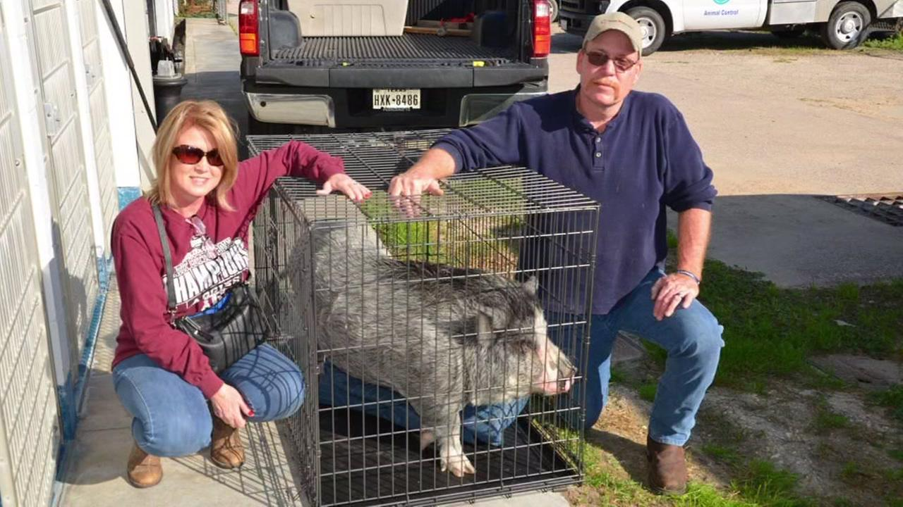 Hammy the pig adopted by family in Rosharon