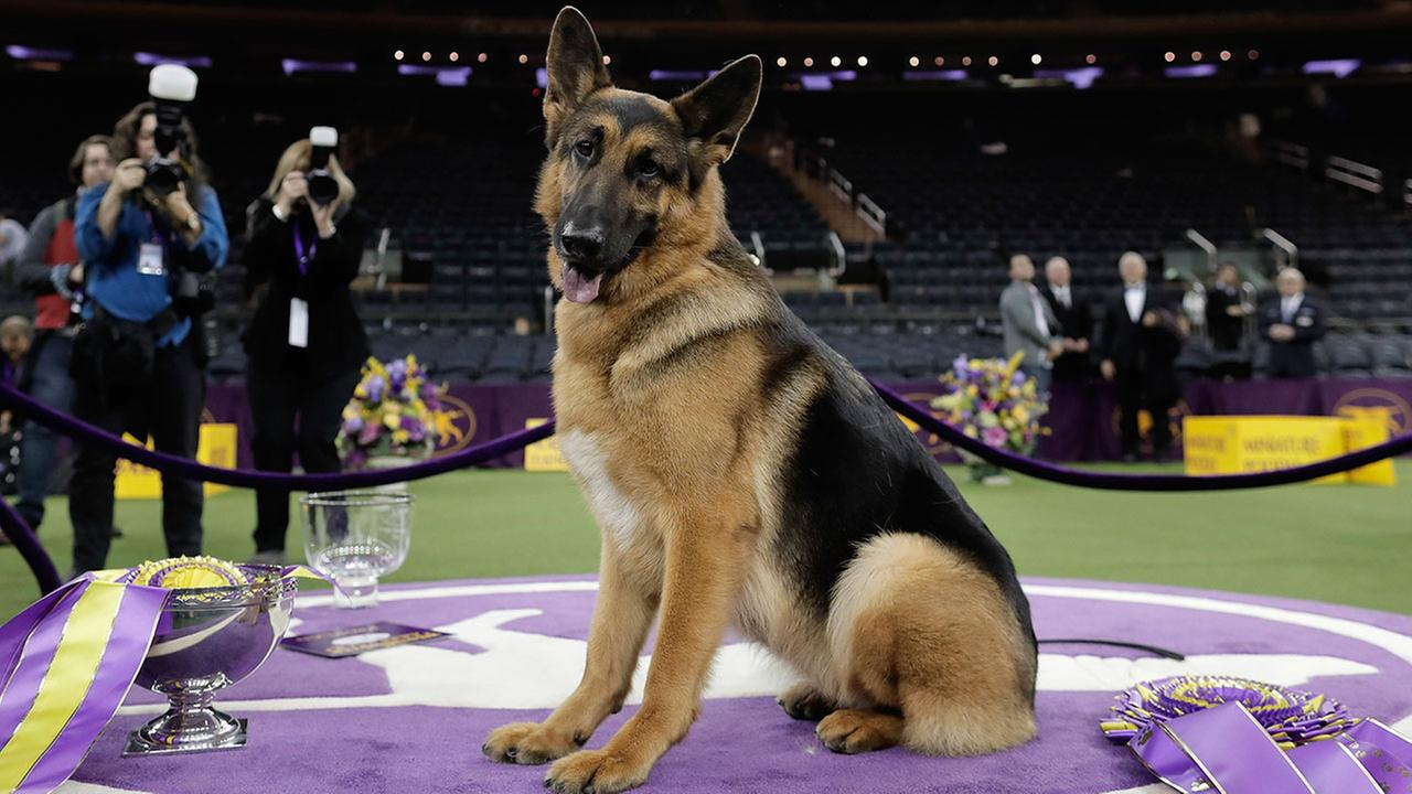 Rumor the German shepherd wins best in show at Westminster