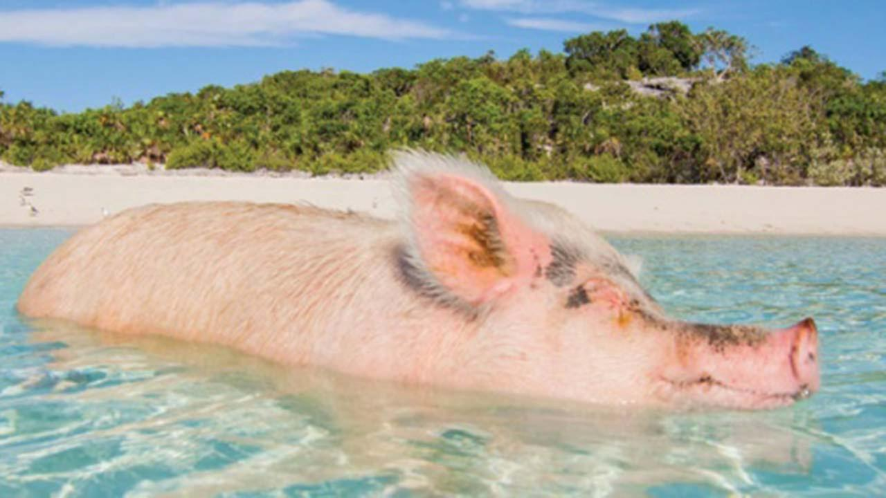 The Bahamas.com is the Official Home of the Swimming Pigs.