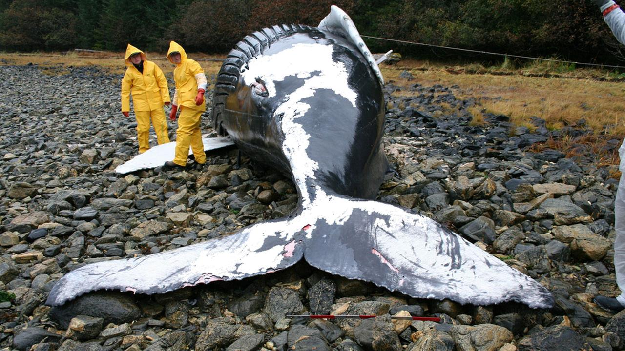 Veterinarians volunteer with NMFS Alaska Marine Mammal Stranding Network during the necropsy of a humpback whale calf that stranded on Baranof Island, Alaska.
