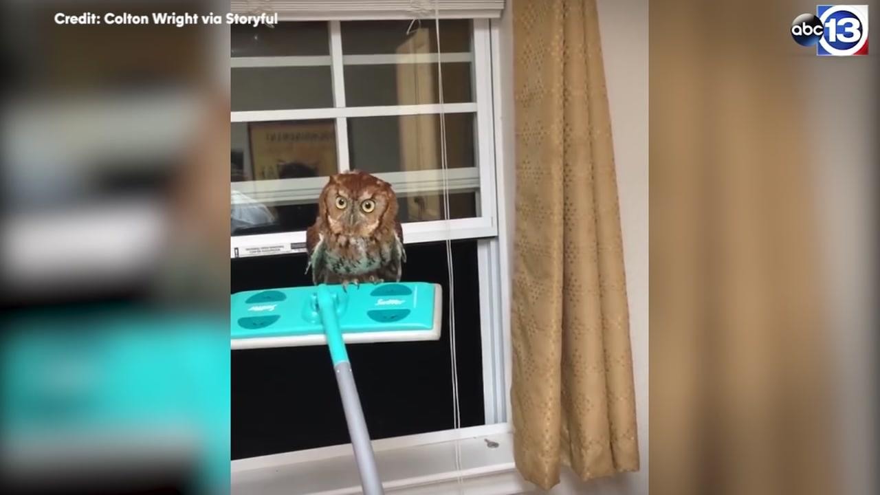 Man screams in terror trying to get owl out of kitchen