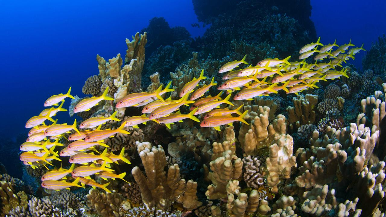 Many fish species call Easter Islands coral reefs home. The waters host 27 threatened species listed on the IUCNs Red List, and 10 of these are in critical condition.