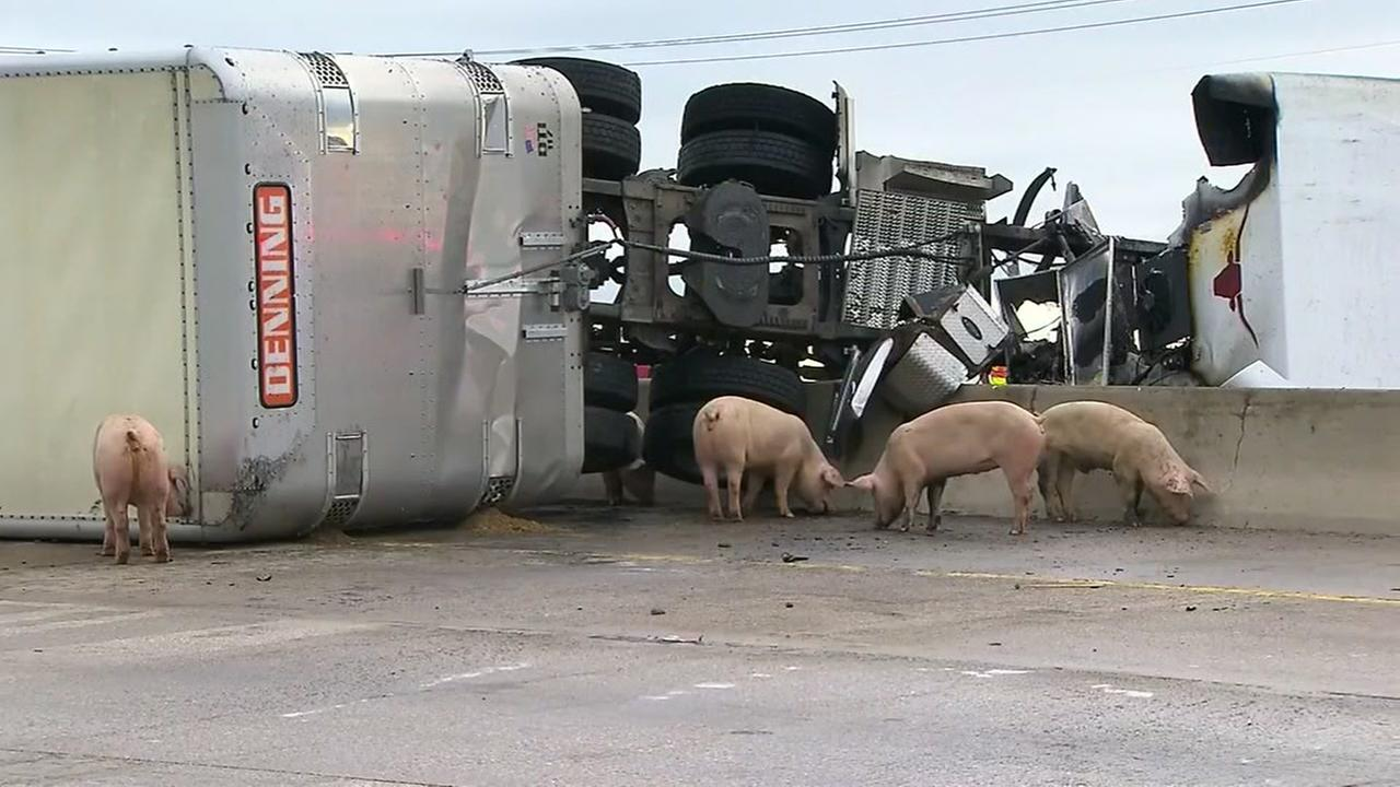 PHOTOS: Pigs take over highway after big rig overturns near Dallas