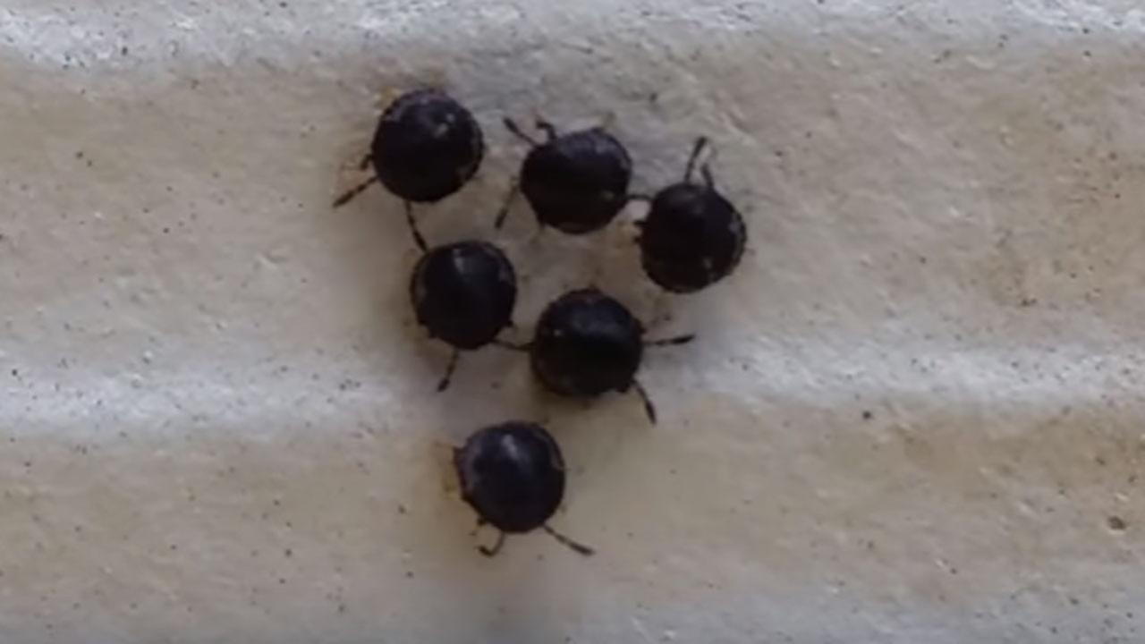 What are these mysterious marching bugs?
