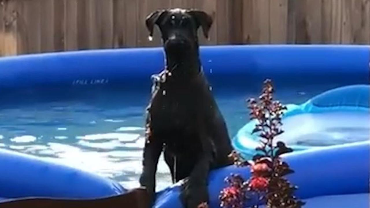 Dog looks guilty after being caught splashing in swimming pool dog looks guilty after being caught splashing in swimming pool abc7news solutioingenieria Gallery