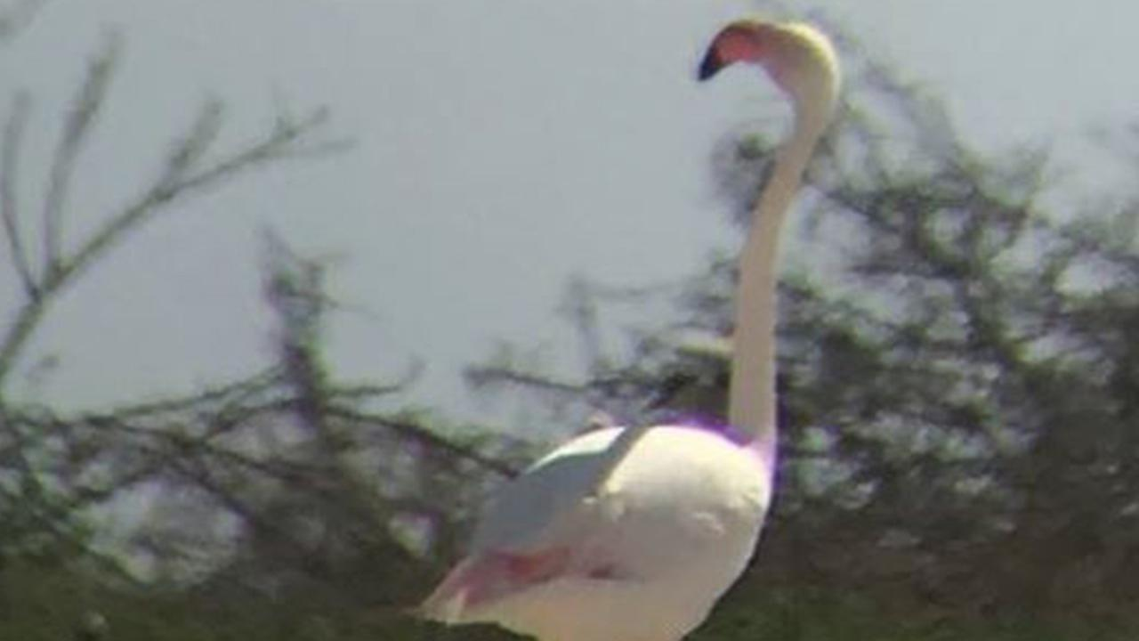 'Fugitive' flamingo spotted in Texas after escaping from zoo in Kansas