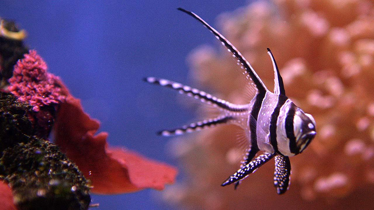 A Banggai Cardinal fish seen in an aquarium