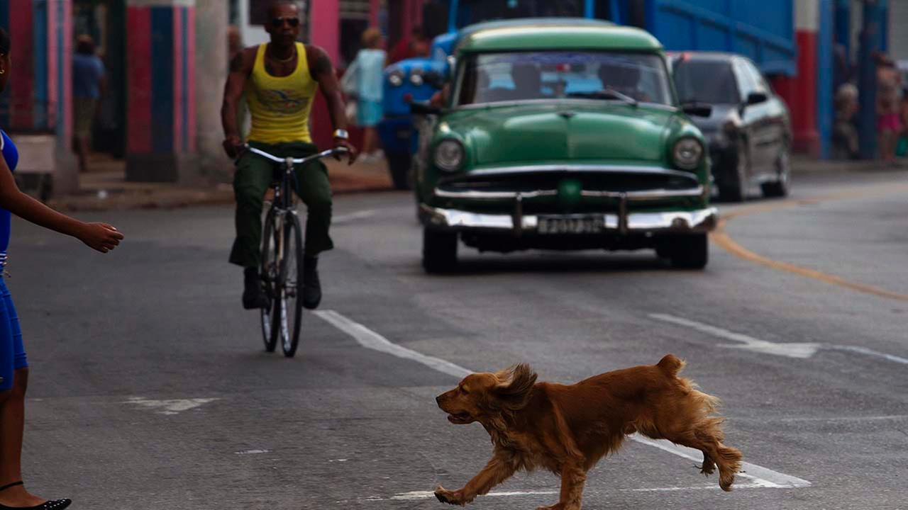 In this Sept. 19, 2014 photo, a dog runs between traffic towards his owner as they cross the street in Havana, Cuba.
