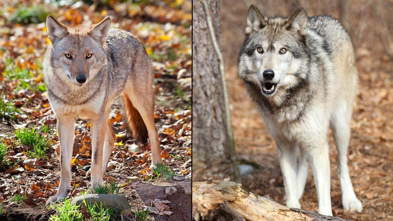 Coyote and gray wolf