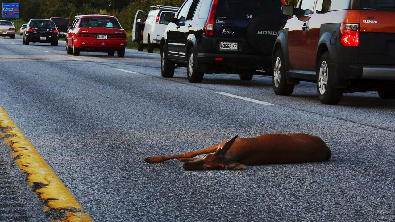 A wounded deer lies in the road after being hit by a car