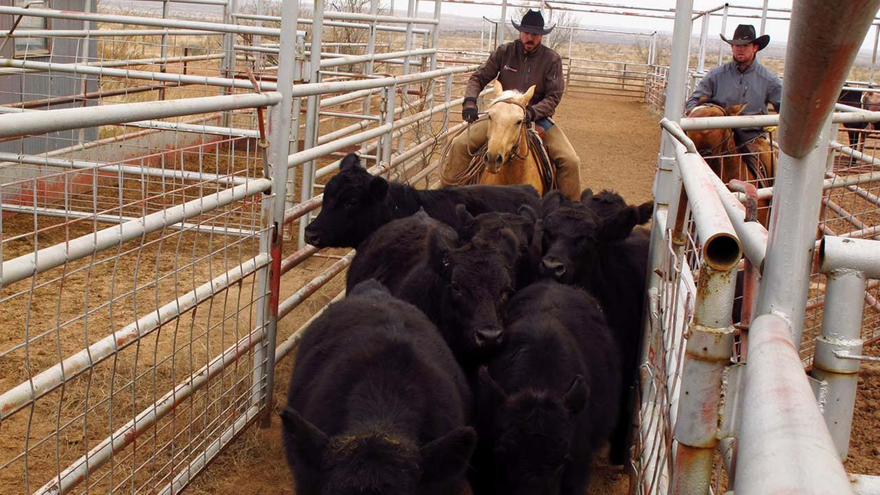 Cowboys on the Muleshoe Ranch in Borden County work to get some cattle into a truck on Dec. 3, 2014