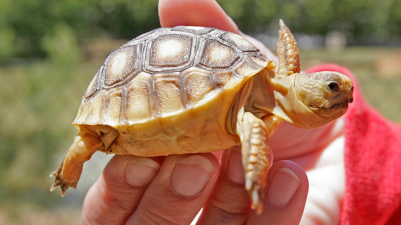 Baby gopher turtle