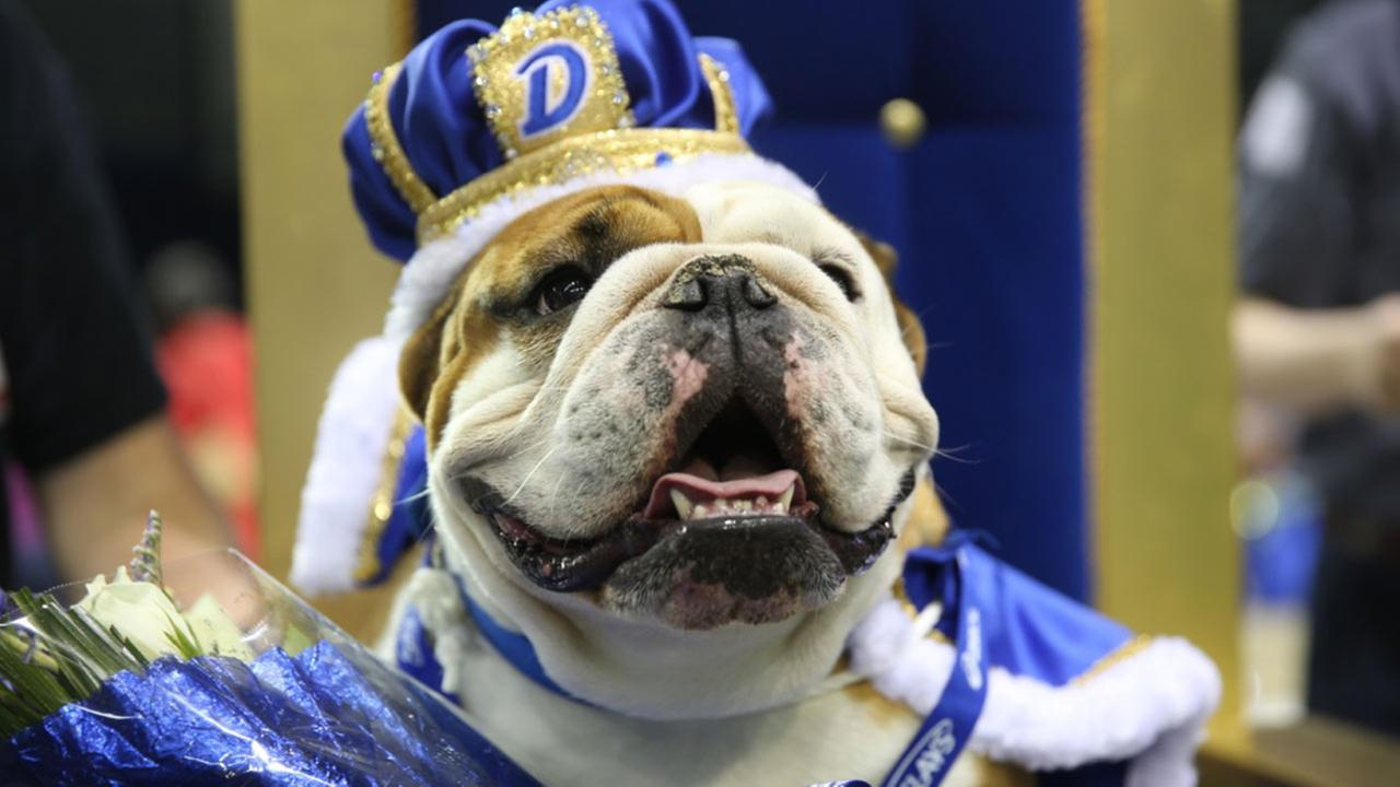 The 36th annual Beautiful Bulldog contest at Drake University featured 50 dogs in the tongue-in-cheek beauty pageant
