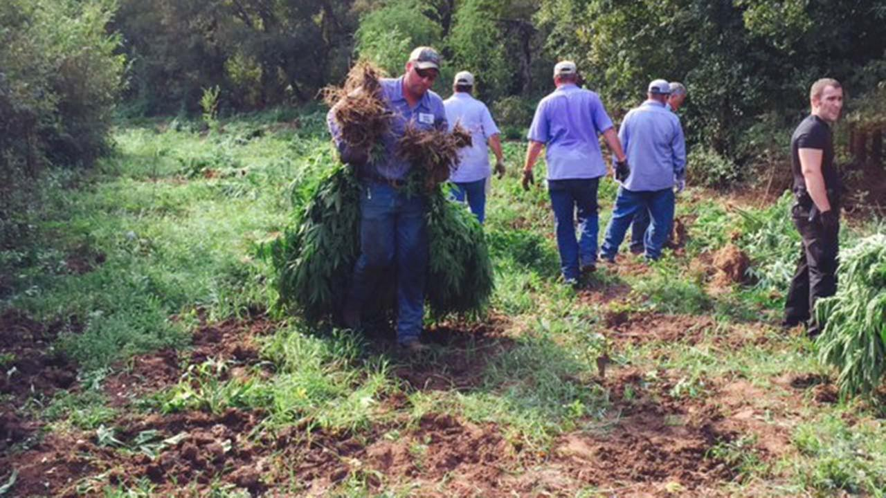 Workers remove marijuana plants from the pot farm in Austin County