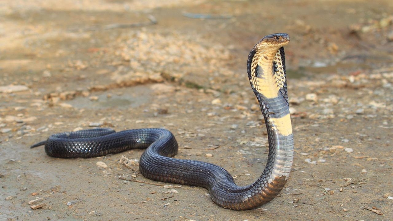 Photo of King Cobra. Image courtesy: Google.com